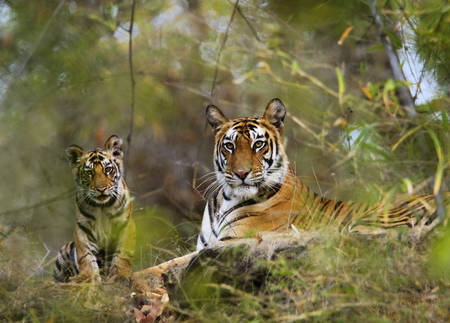 Petit tigre avec sa mere