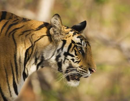 Portrait d un tigre