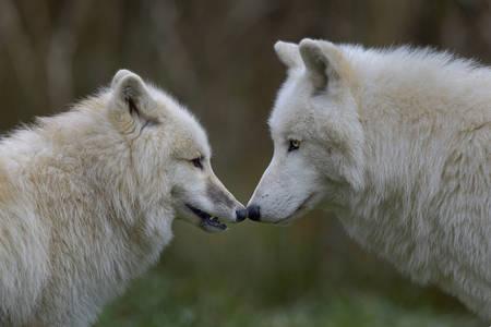 Retrato del lobo ártico