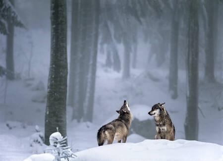 Prière du loup