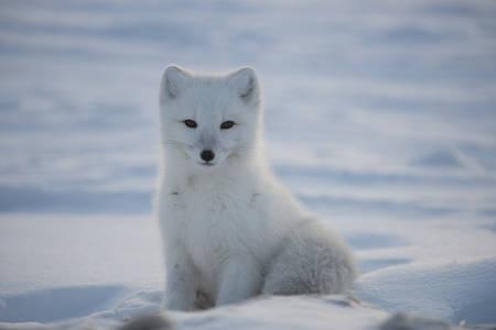 El zorro polar sentado en la nieve