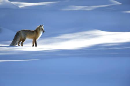 Renard roux chassant dans la neige