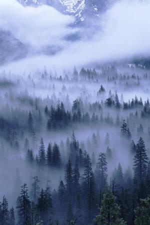 Abeti nella nebbia