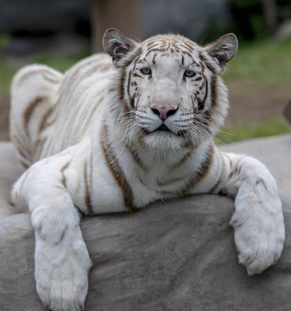 Tigre blanc royal