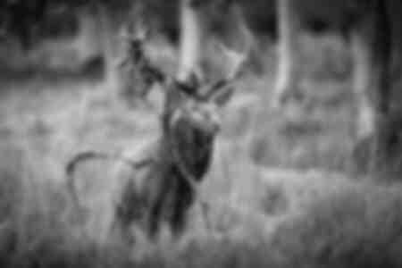 Cerf élaphe pendant la période du brame