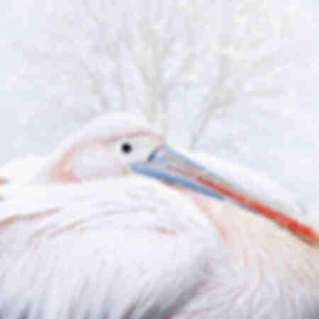Grote witte pelikaan onder de sneeuw