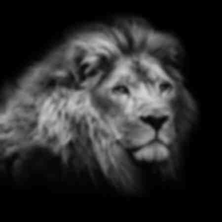 The majestic lion and his big feline gaze