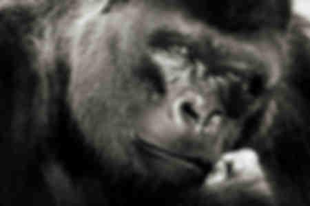 La mirada del gorila