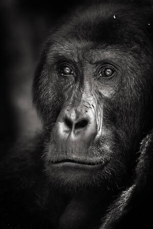 Portrait of a Grauer