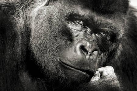 Gorilla un'occhiata