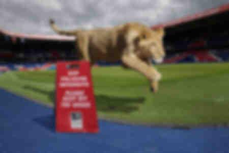 De leeuwin van het park