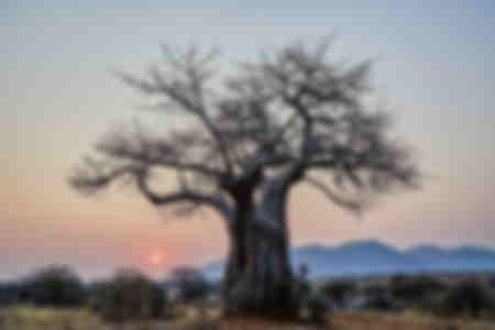 Affenbrotbaum Tansania