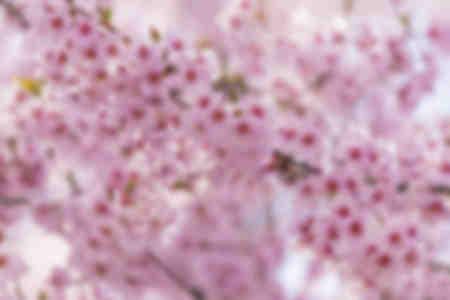 Cherry blossom Takato