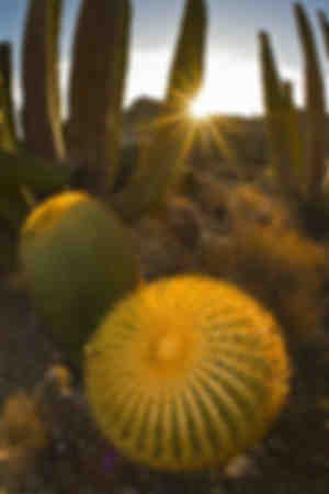 Endemic giant barrel cactus