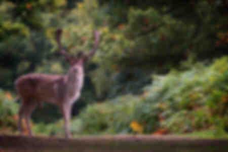 Le daim dans une forêt automnale Angleterre