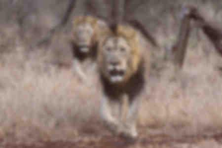 Lions in  Zimanga