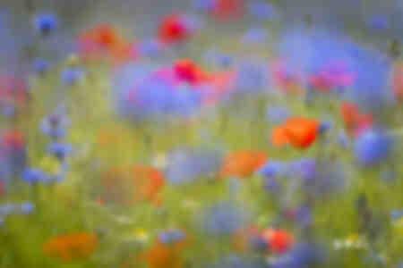 Wildflower meadow of poppies and cornflower