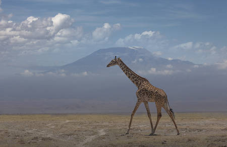 Giraffe under Mount Kilimanjaro