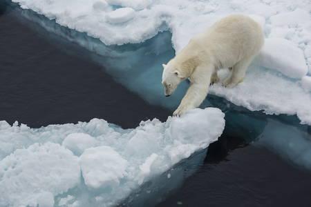Young adult polar bear