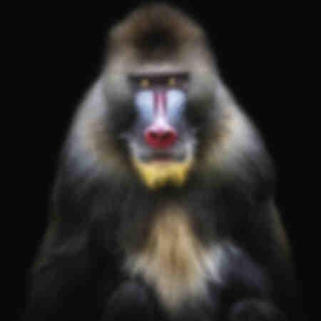 Portrait Mandrill