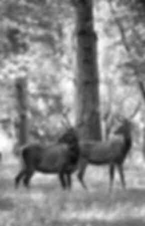 Les cerfs dans les forets Wallones