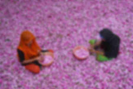 Plocka rosor