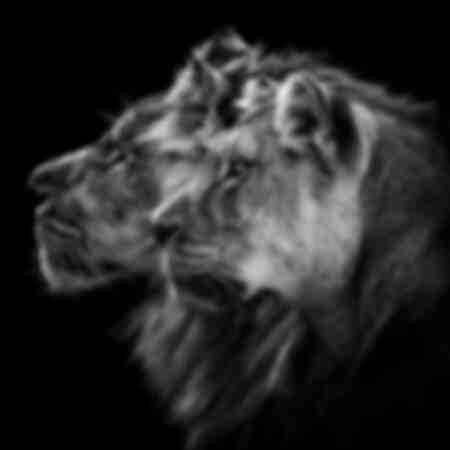 Portrait de lion et lionne